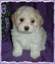 Vanilla Skys litter born on March 16th 2004 Puppy 4