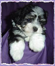 Vanilla Skys litter born on March 16th 2004 Puppy 2