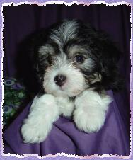 Vanilla Skys litter born on March 16th 2004 Puppy 1