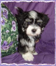 Vanilla Skys litter born on March 16th 2004 Puppy 3